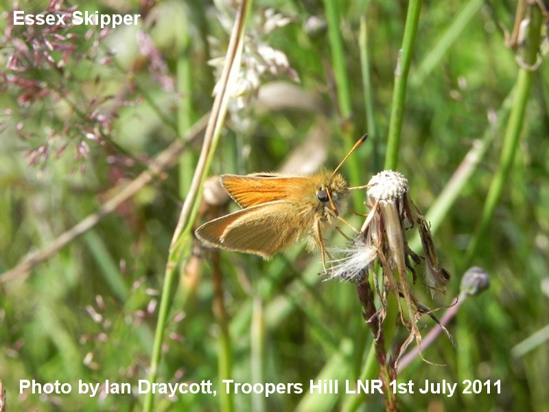 Essex Skipper - photograph by Ian Draycott, 1st July 2011