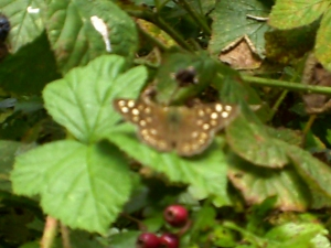 Speckled Wood by Amy