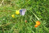 A common blue butterfly on birdsfoot trefoil